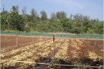 Drip Irrigation in Short Term Crops