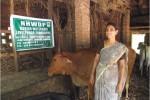 Rearing of cows- Kasaragod Dwarf